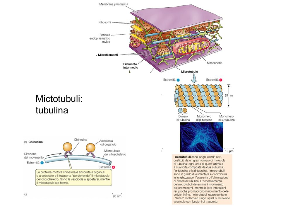 Mictotubuli: tubulina