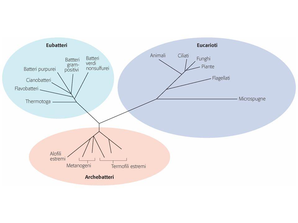 Eubatteri e Archebatteri costituiscono i procarioti.