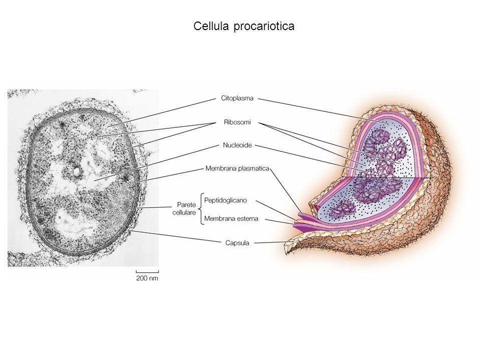 Cellula procariotica La cellula procariotica ha circa un micron di diametro.