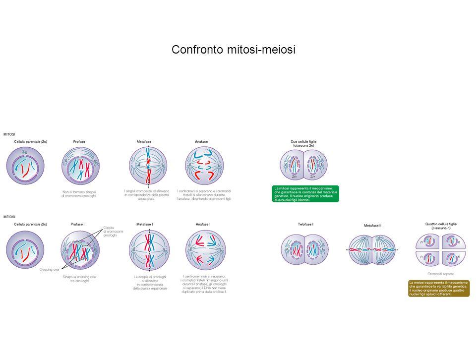 Confronto mitosi-meiosi