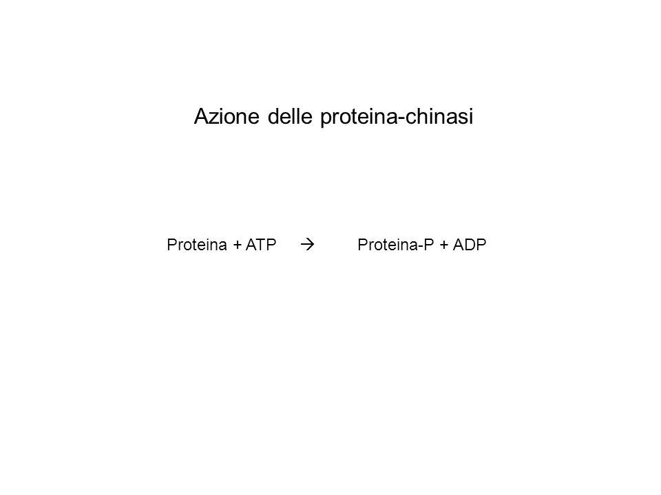 Azione delle proteina-chinasi