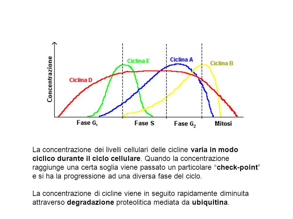 La concentrazione dei livelli cellulari delle cicline varia in modo ciclico durante il ciclo cellulare. Quando la concentrazione raggiunge una certa soglia viene passato un particolare check-point e si ha la progressione ad una diversa fase del ciclo.