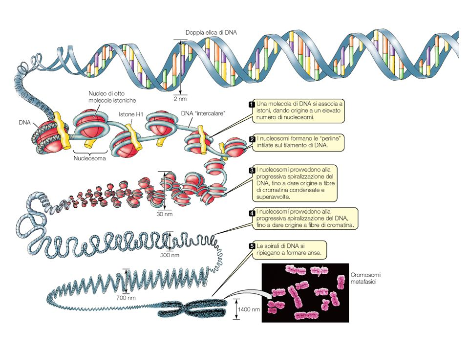 Il DNA degli eucarioti è organizzato in diversi cromosomi lineari