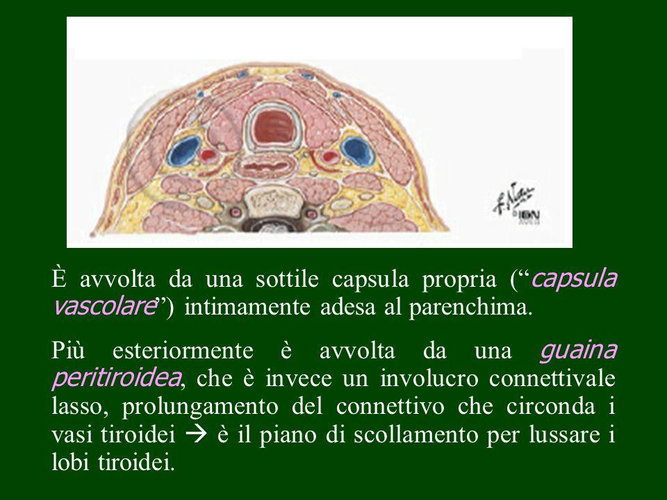 È avvolta da una sottile capsula propria ( capsula vascolare ) intimamente adesa al parenchima.