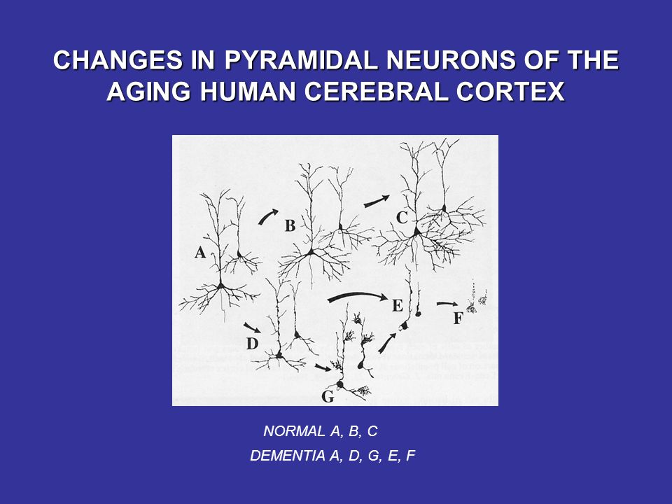 CHANGES IN PYRAMIDAL NEURONS OF THE AGING HUMAN CEREBRAL CORTEX