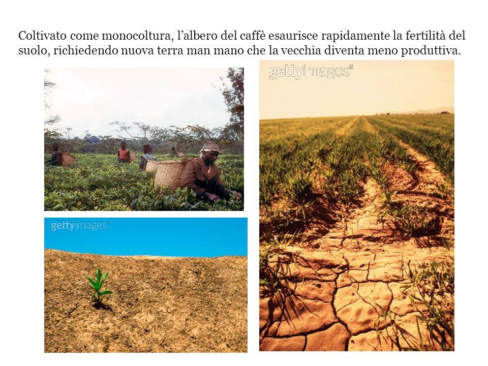 Coltivato come monocoltura, l'albero del caffè esaurisce rapidamente la fertilità del suolo, richiedendo nuova terra man mano che la vecchia diventa meno produttiva.