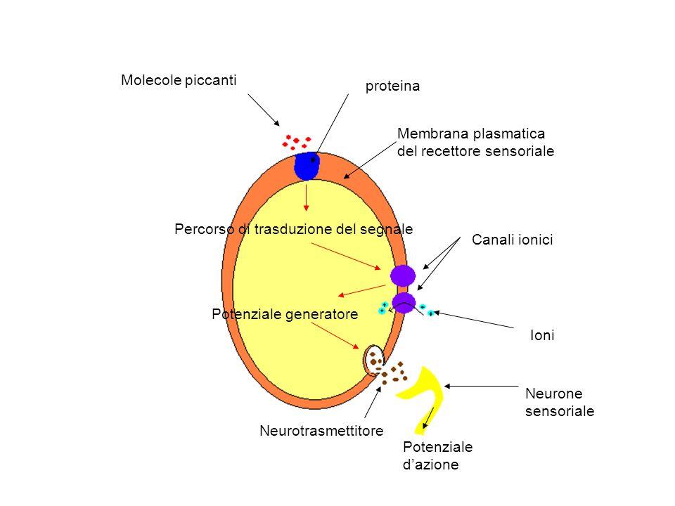 Molecole piccantiproteina. Membrana plasmatica del recettore sensoriale. Percorso di trasduzione del segnale.