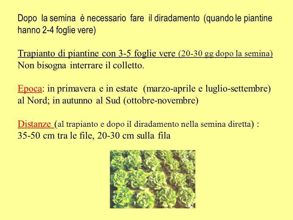 Dopo la semina è necessario fare il diradamento (quando le piantine hanno 2-4 foglie vere) Trapianto di piantine con 3-5 foglie vere (20-30 gg dopo la semina) Non bisogna interrare il colletto.