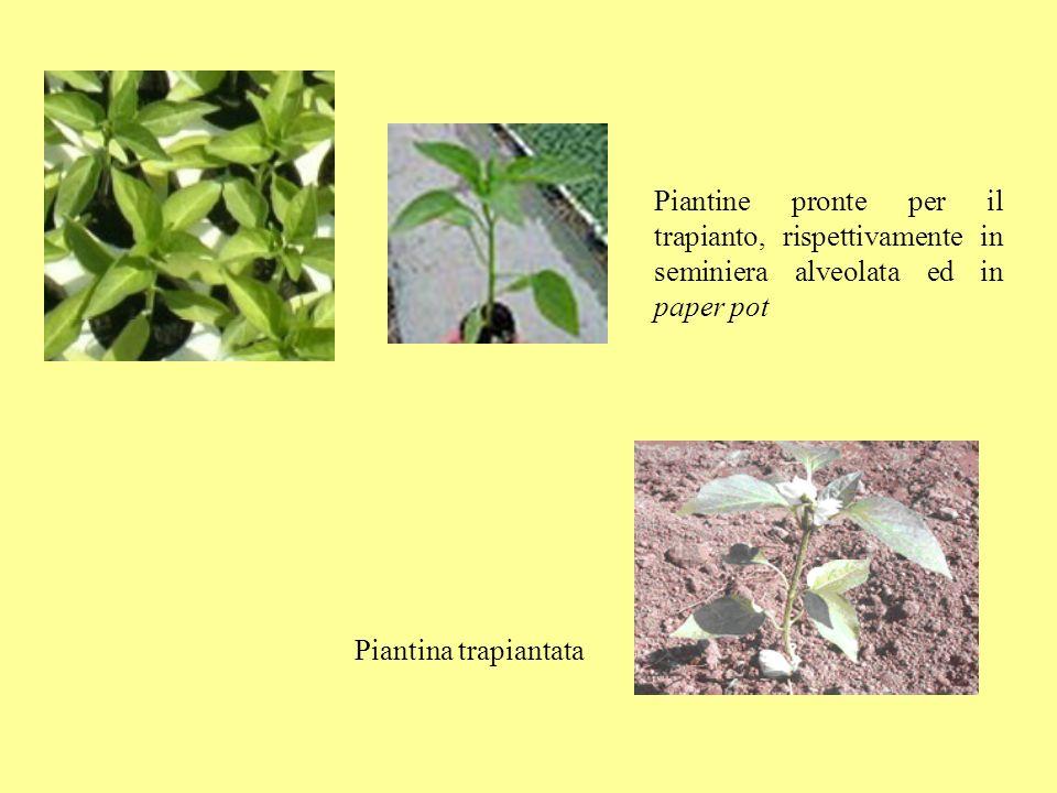 Piantine pronte per il trapianto, rispettivamente in seminiera alveolata ed in paper pot