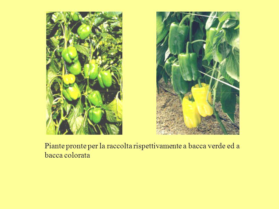 Piante pronte per la raccolta rispettivamente a bacca verde ed a bacca colorata