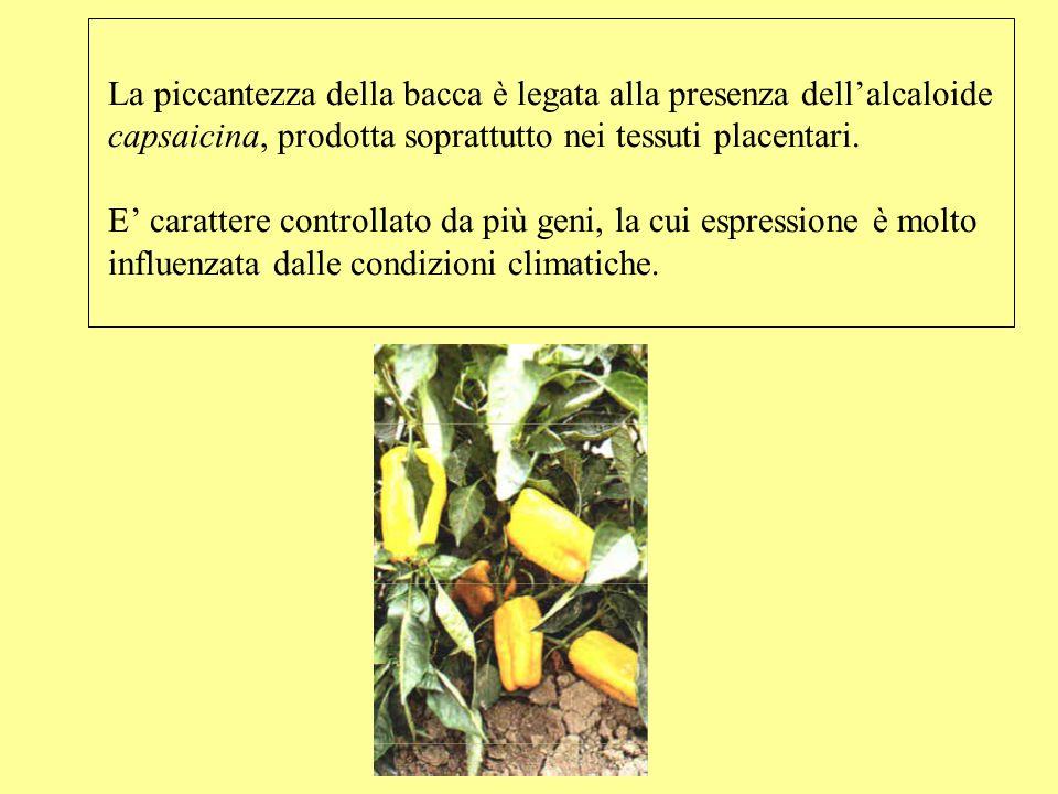 La piccantezza della bacca è legata alla presenza dell'alcaloide capsaicina, prodotta soprattutto nei tessuti placentari.