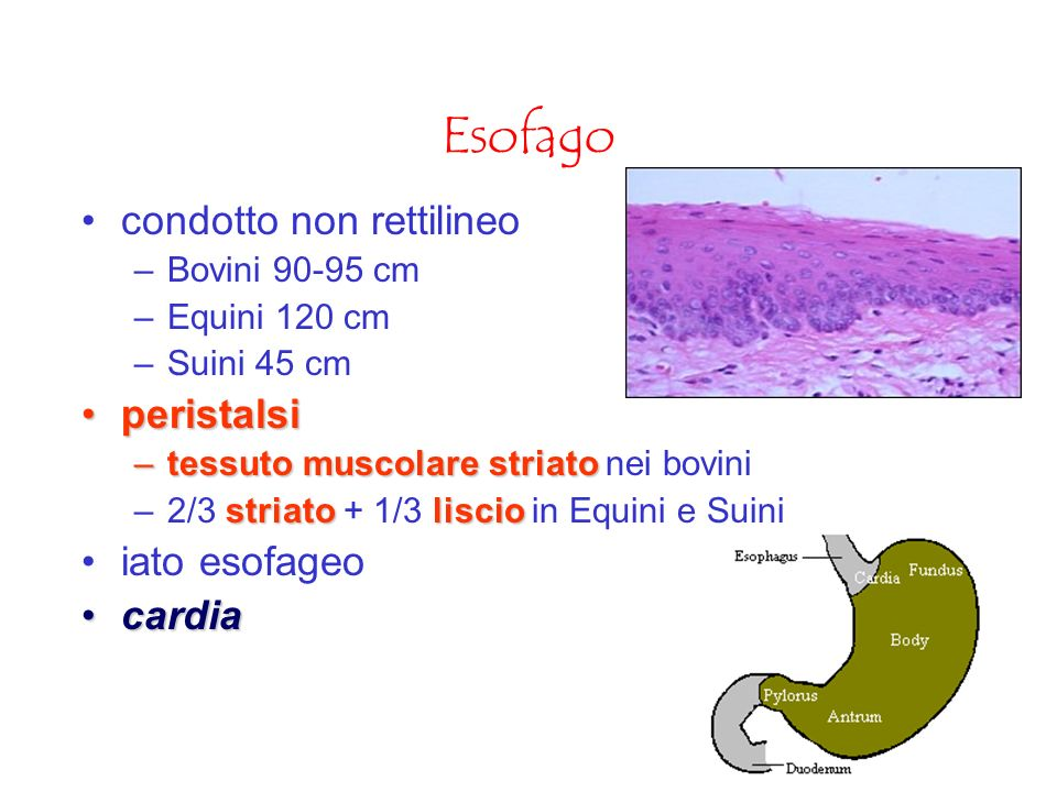 Esofago condotto non rettilineo peristalsi iato esofageo cardia