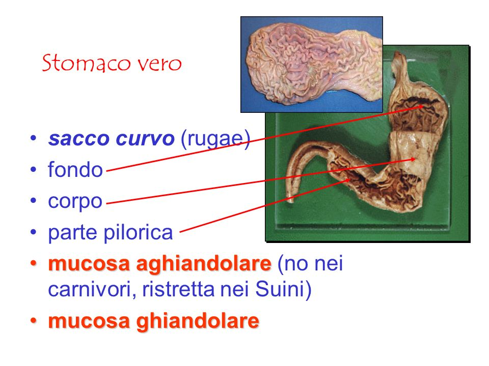 Stomaco vero sacco curvo (rugae) fondo corpo parte pilorica