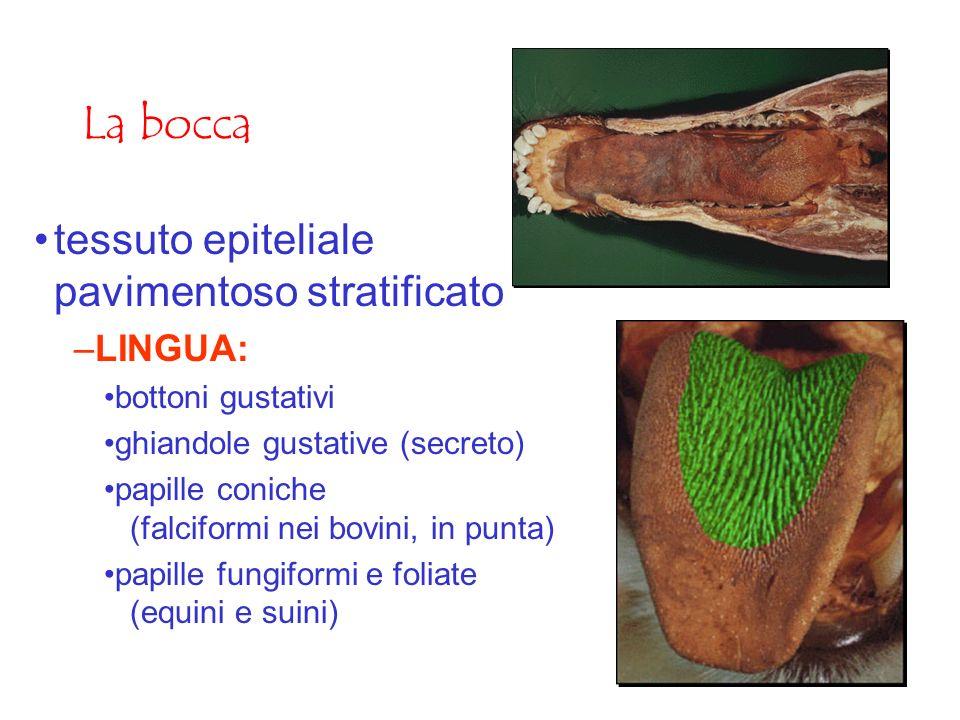 La bocca tessuto epiteliale pavimentoso stratificato LINGUA: