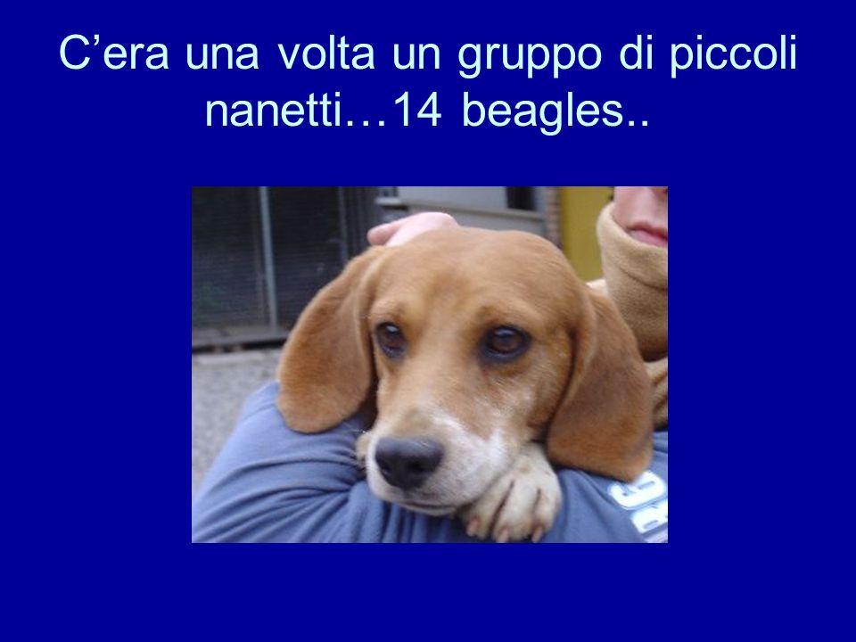 C'era una volta un gruppo di piccoli nanetti…14 beagles..