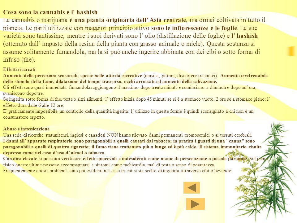 Cosa sono la cannabis e l hashish La cannabis o marijuana è una pianta originaria dell' Asia centrale, ma ormai coltivata in tutto il pianeta. Le parti utilizzate con maggior principio attivo sono le infiorescenze e le foglie. Le sue varietà sono tantissime, mentre i suoi derivati sono l' olio (distillazione delle foglie) e l' hashish (ottenuto dall' impasto della resina della pianta con grasso animale o miele). Questa sostanza si assume solitamente fumandola, ma la si può anche ingerire abbinata con dei cibi o sotto forma di infuso (the).