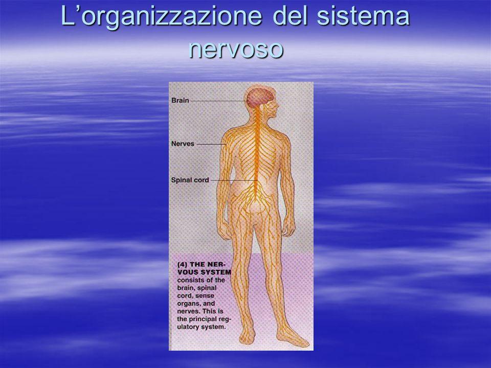 L'organizzazione del sistema nervoso