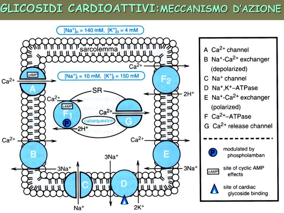 GLICOSIDI CARDIOATTIVI:MECCANISMO D'AZIONE