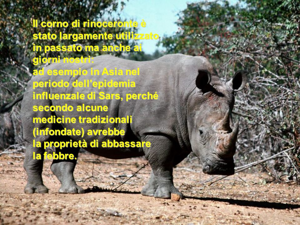 Il corno di rinoceronte è stato largamente utilizzato in passato ma anche ai giorni nostri: ad esempio in Asia nel periodo dell epidemia influenzale di Sars, perché secondo alcune medicine tradizionali (infondate) avrebbe la proprietà di abbassare la febbre.
