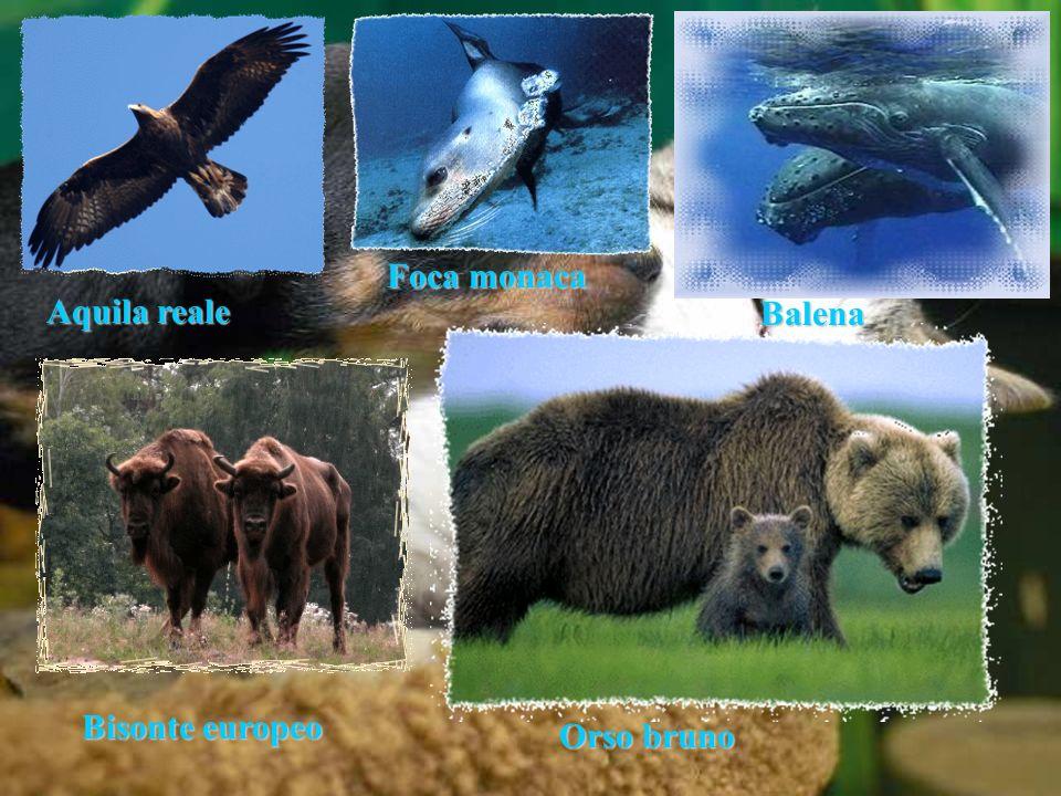 Foca monaca Aquila reale Balena Bisonte europeo Orso bruno