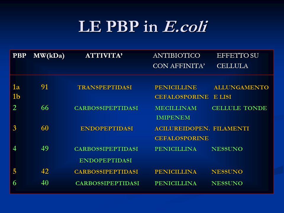 LE PBP in E.coli PBP MW(kDa) ATTIVITA' ANTIBIOTICO EFFETTO SU. CON AFFINITA' CELLULA.