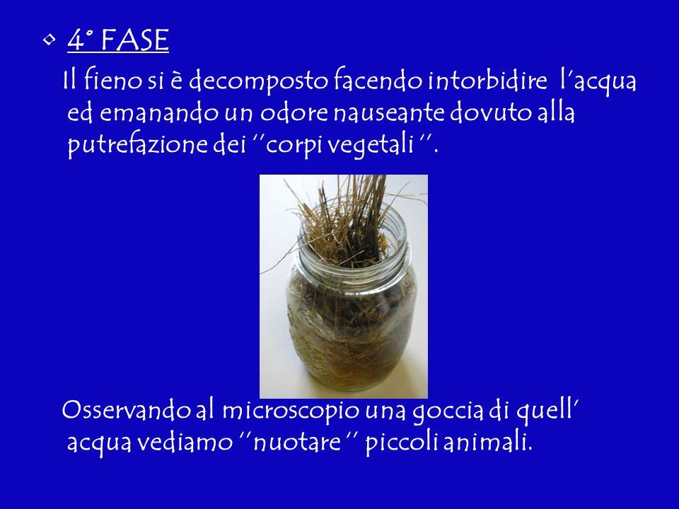 4° FASE Il fieno si è decomposto facendo intorbidire l'acqua ed emanando un odore nauseante dovuto alla putrefazione dei ''corpi vegetali ''.