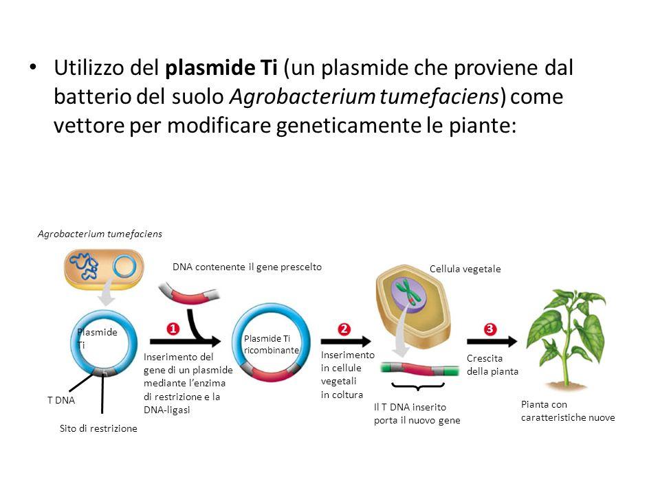 Utilizzo del plasmide Ti (un plasmide che proviene dal batterio del suolo Agrobacterium tumefaciens) come vettore per modificare geneticamente le piante: