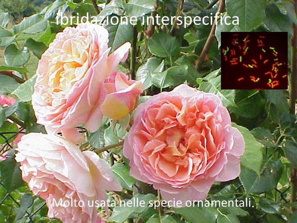 ibridazione interspecifica