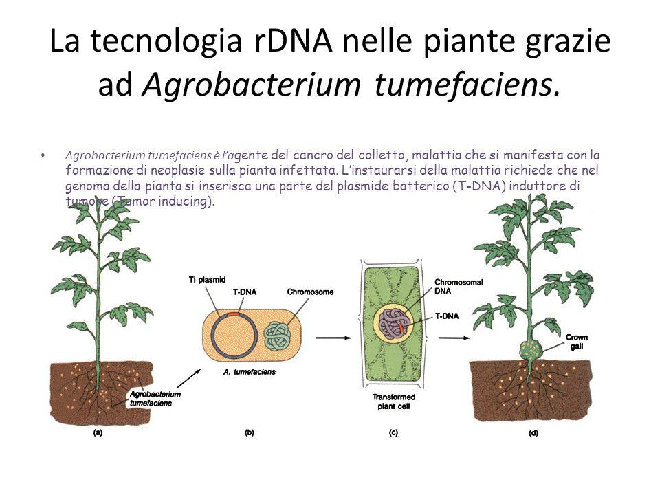 La tecnologia rDNA nelle piante grazie ad Agrobacterium tumefaciens.