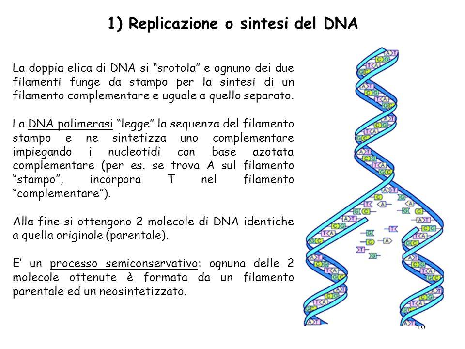1) Replicazione o sintesi del DNA
