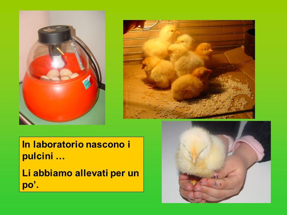 In laboratorio nascono i pulcini …