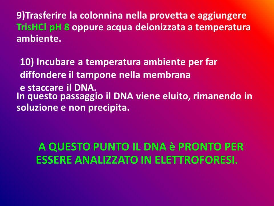 A QUESTO PUNTO IL DNA è PRONTO PER ESSERE ANALIZZATO IN ELETTROFORESI.