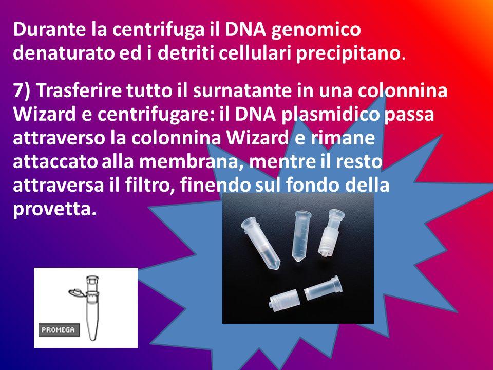 Durante la centrifuga il DNA genomico denaturato ed i detriti cellulari precipitano.