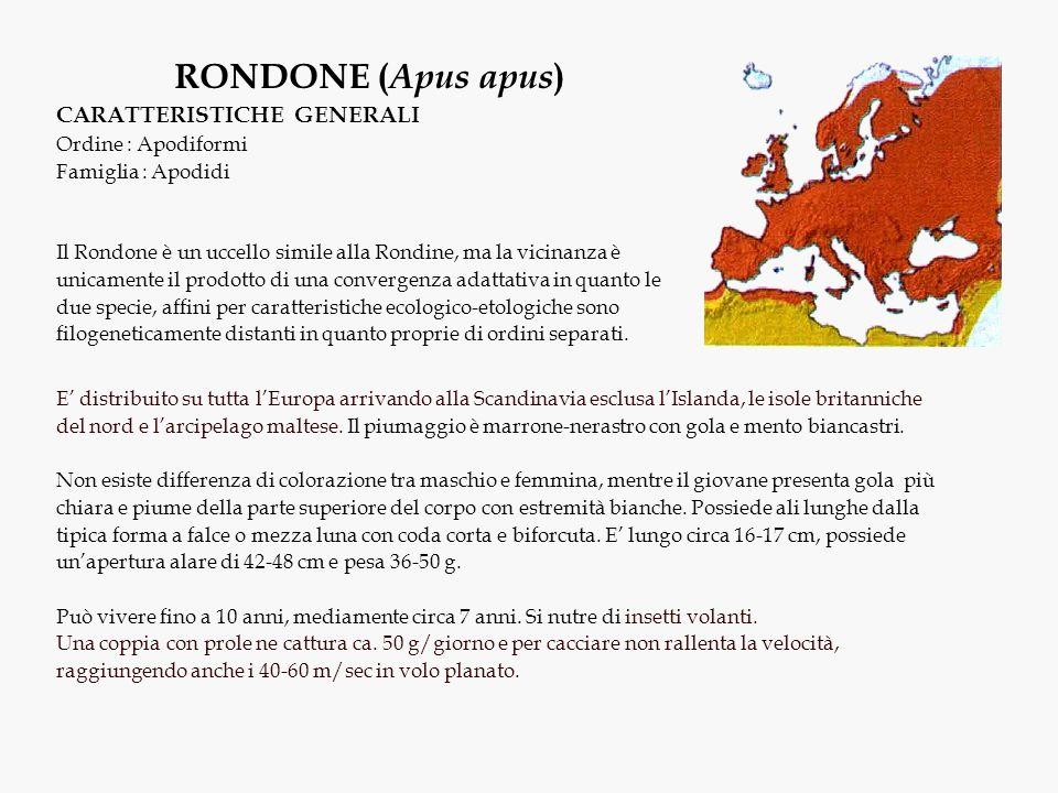 RONDONE (Apus apus) CARATTERISTICHE GENERALI Ordine : Apodiformi