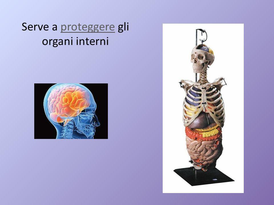 Serve a proteggere gli organi interni
