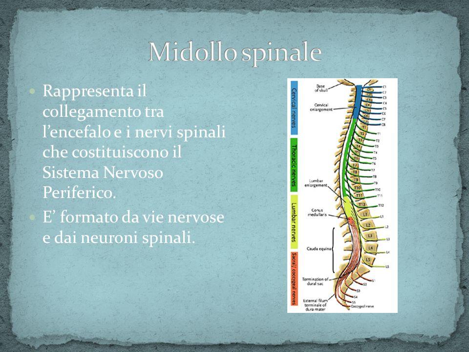 Midollo spinale Rappresenta il collegamento tra l'encefalo e i nervi spinali che costituiscono il Sistema Nervoso Periferico.