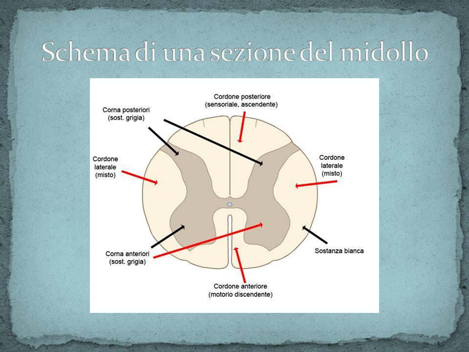 Schema di una sezione del midollo