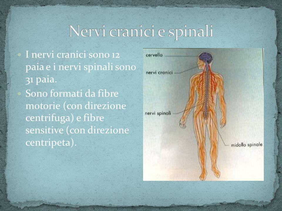 Nervi cranici e spinali