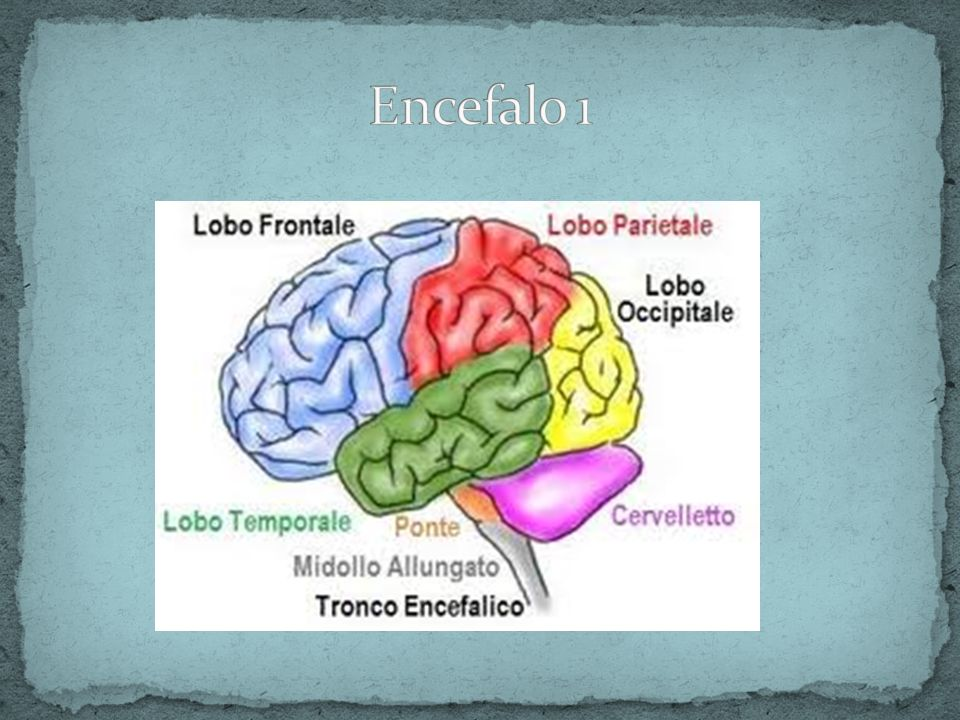 Encefalo 1
