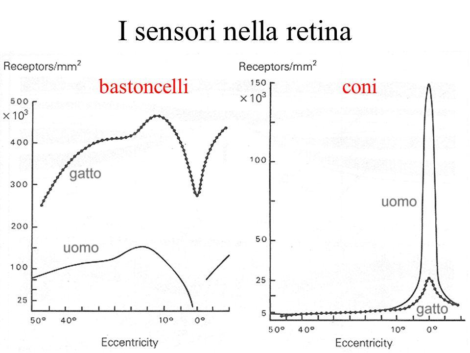 I sensori nella retina bastoncelli coni
