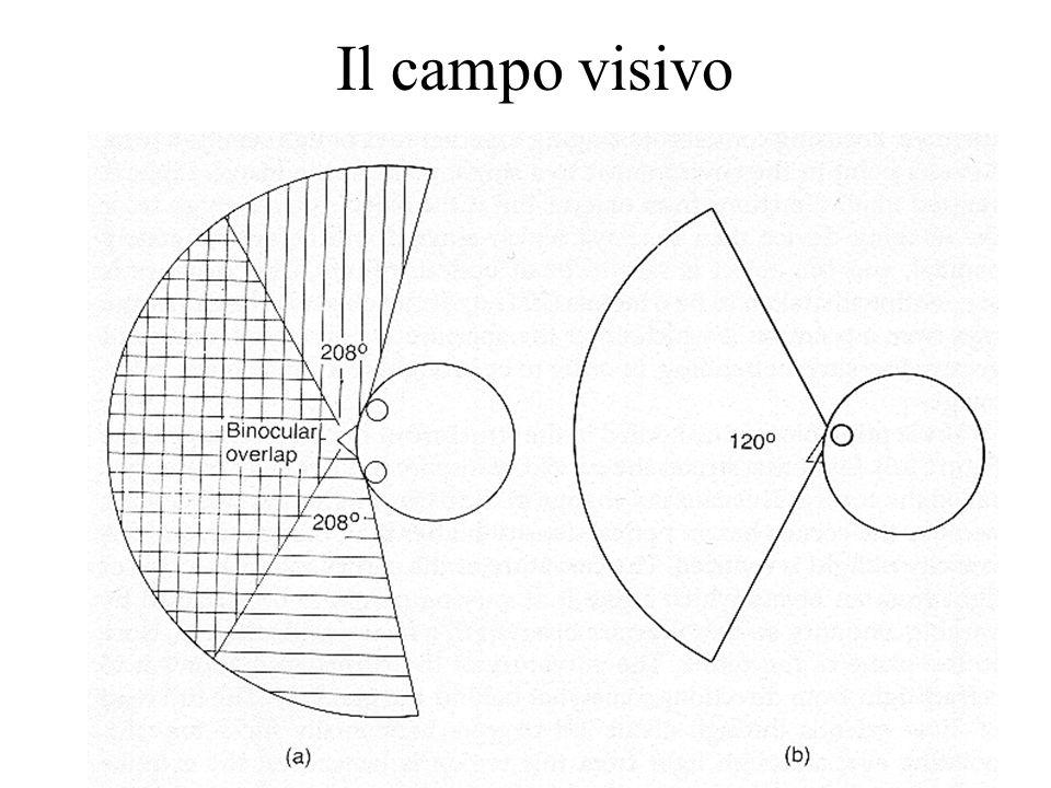 Il campo visivo