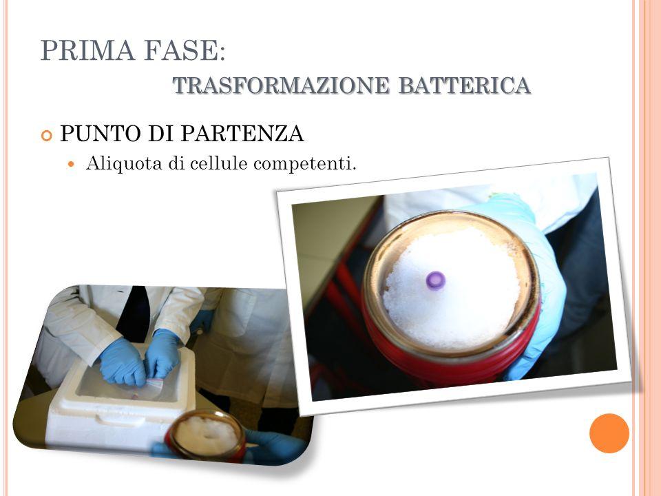 PRIMA FASE: trasformazione batterica