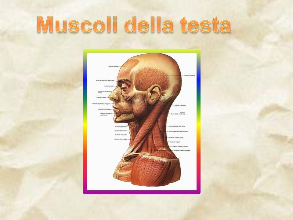Muscoli della testa