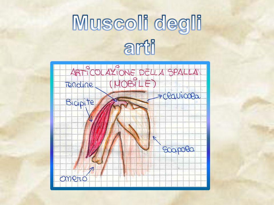 Muscoli degli arti