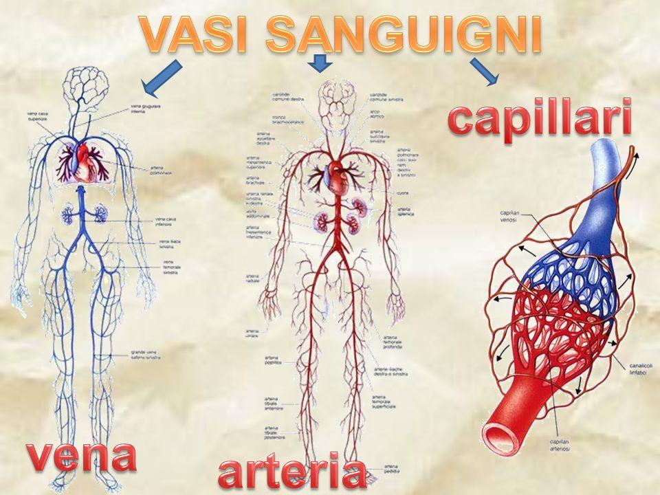 VASI SANGUIGNI capillari vena arteria