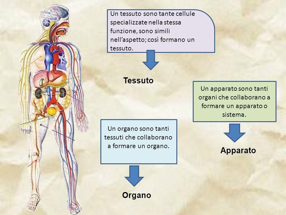 Un organo sono tanti tessuti che collaborano a formare un organo.