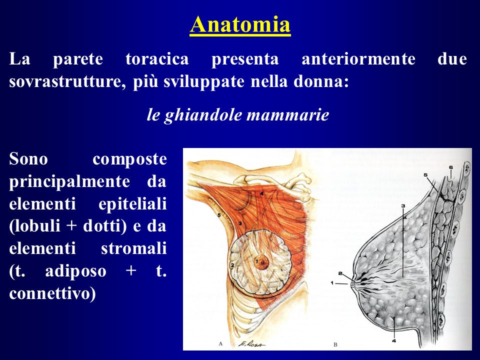 Anatomia La parete toracica presenta anteriormente due sovrastrutture, più sviluppate nella donna: le ghiandole mammarie.