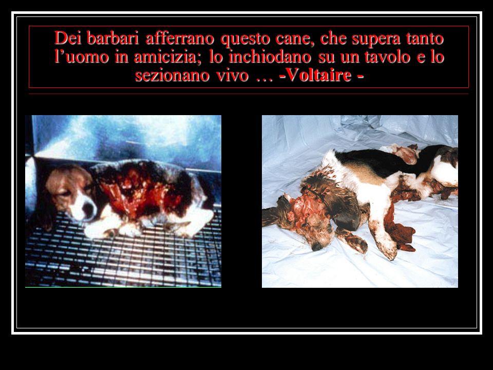 Dei barbari afferrano questo cane, che supera tanto l'uomo in amicizia; lo inchiodano su un tavolo e lo sezionano vivo … -Voltaire -