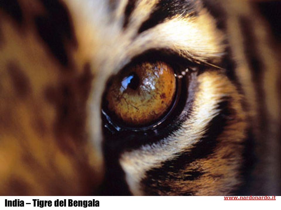India – Tigre del Bengala