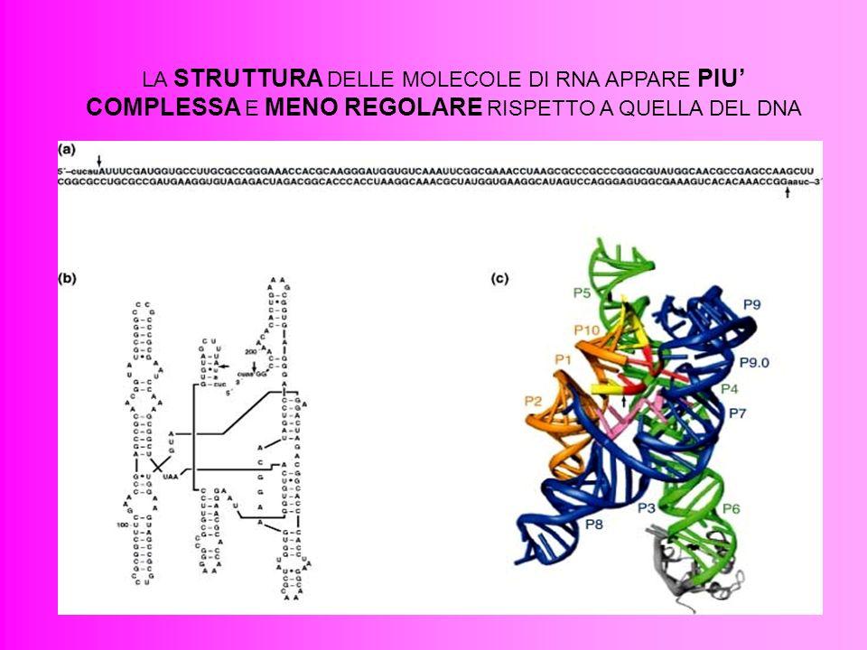 LA STRUTTURA DELLE MOLECOLE DI RNA APPARE PIU' COMPLESSA E MENO REGOLARE RISPETTO A QUELLA DEL DNA